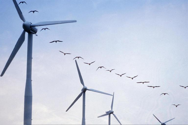 Ecosse / UK : Lancement d'une étude sur le risque de collision d'oiseaux de mer avec des turbines.